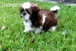 shi tzu for sale