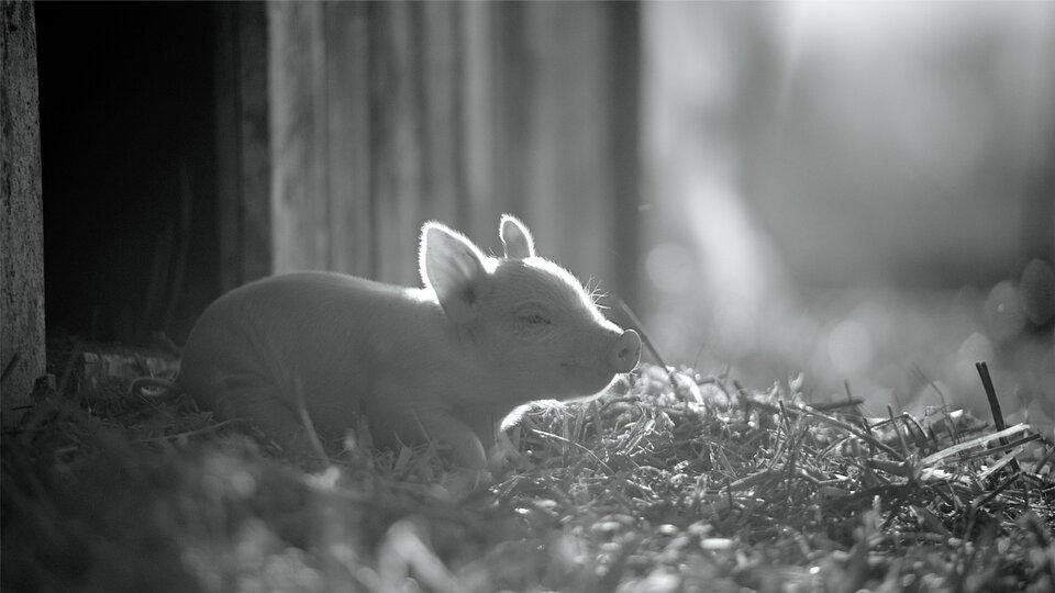 Документалка российского режиссера о свинье вошла в шорт-лист «Оскара»